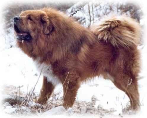 liontype